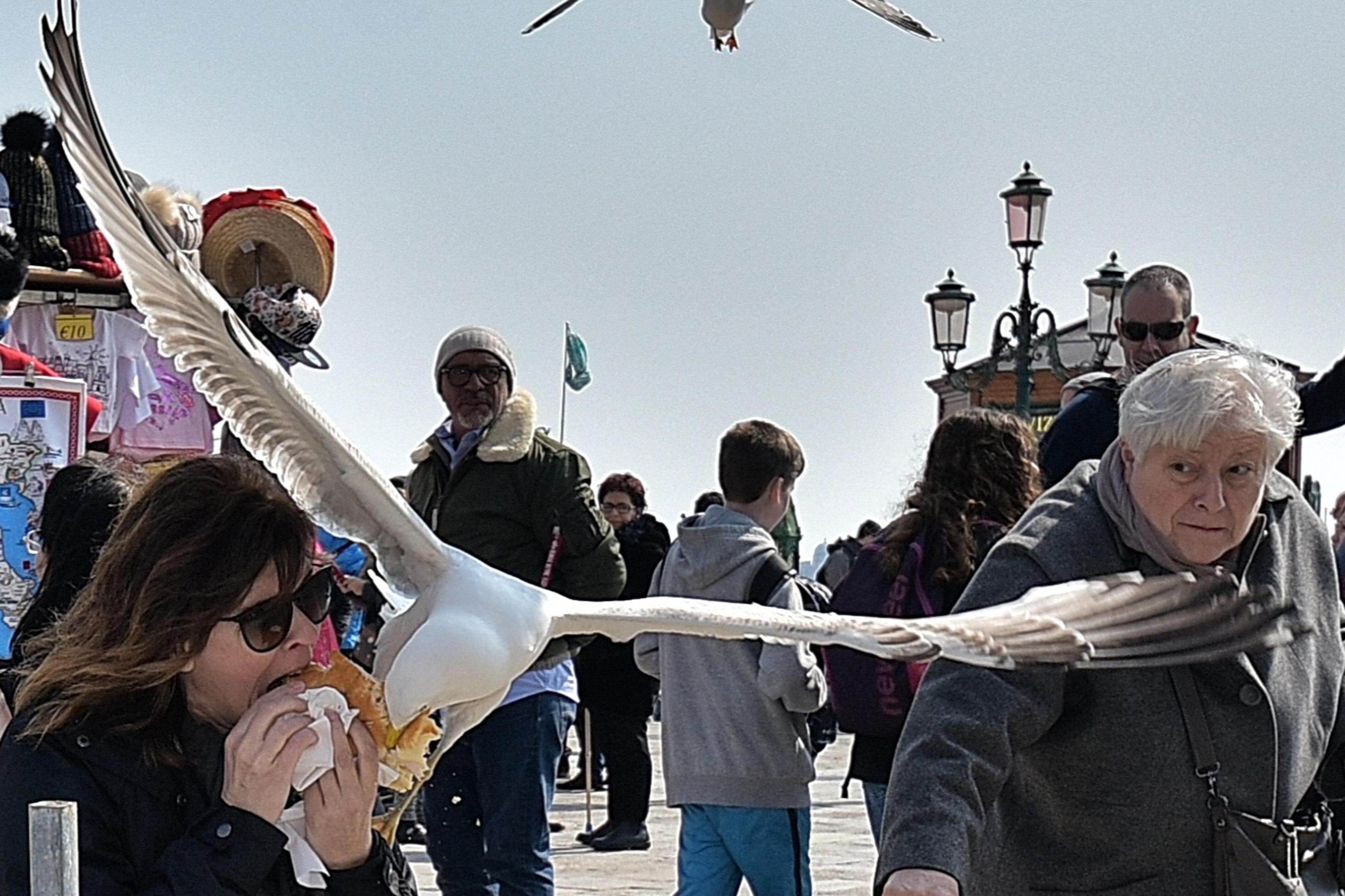 Furto a Venezia, gabbiano reale ruba al volo un panino a una turista
