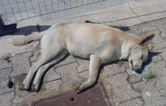 Campobello, altro cane trovato morto. Avvelenato?