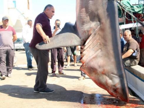 Presenza grande predatore nel Mediterraneo. Catturato grande squalo bianco