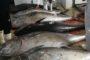 Oltre 22 quintali di tonno rosso sequestrati dalla Guardia Costiera. multe fino a 100.000 euro e rischio per la salute pubblica