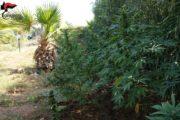 Marijuana da Partinico a Marsala. Uomini armati a vegliare sull'erba
