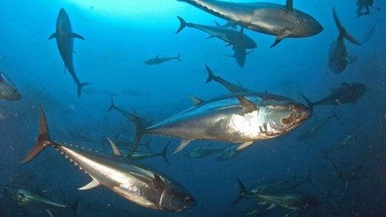 Quote per la pesca del tonno