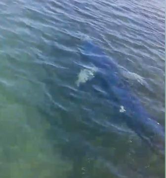 Avvistato squalo nel mare di Trapani. Ecco il video