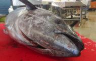 Trapani. Veterinari ASP sequestrano tonno rosso al mercato del pesce