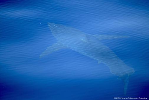 Baleari, squalo bianco avvistato al largo: prima volta in 30 anni