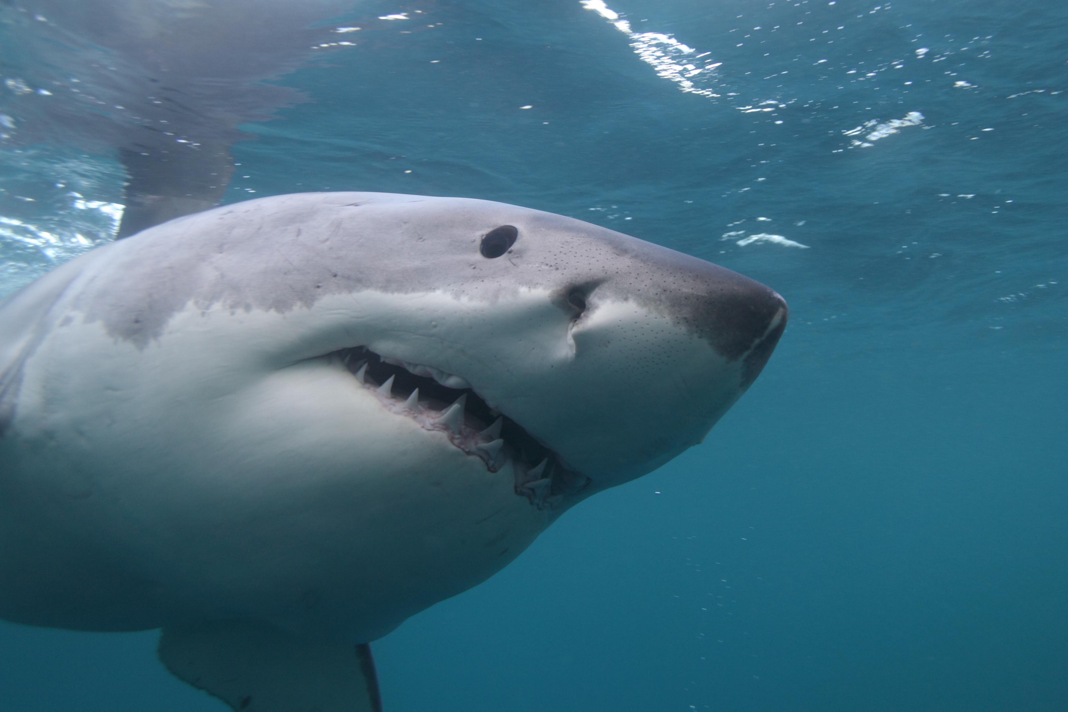 Usa: squalo uccide surfista a Cape Cod