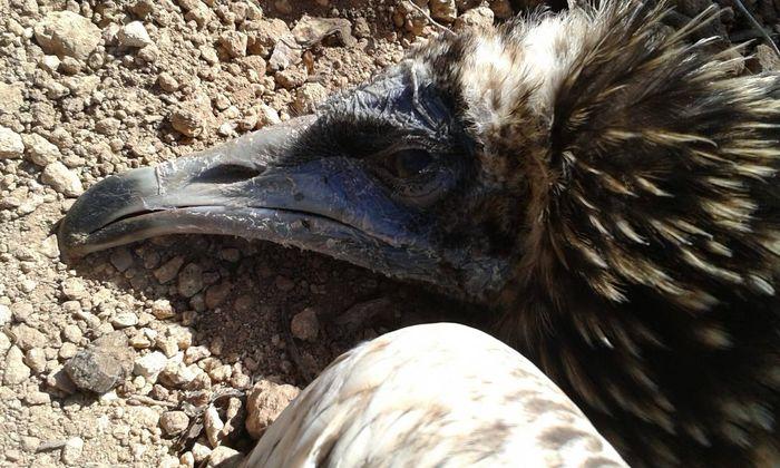 Ucciso a fucilate un piccolo avvoltoio a Mazara. Era stato liberato a Matera perché andasse in Africa