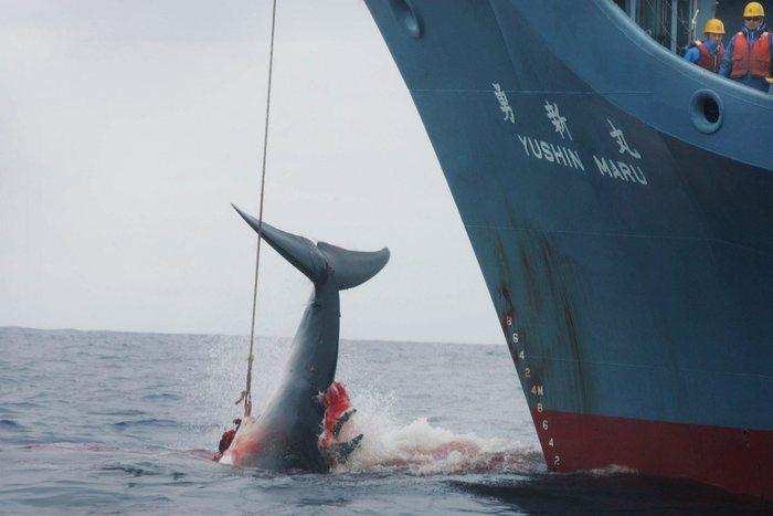 Il Giappone lascia l'Iwc per riprendere la caccia alle balene