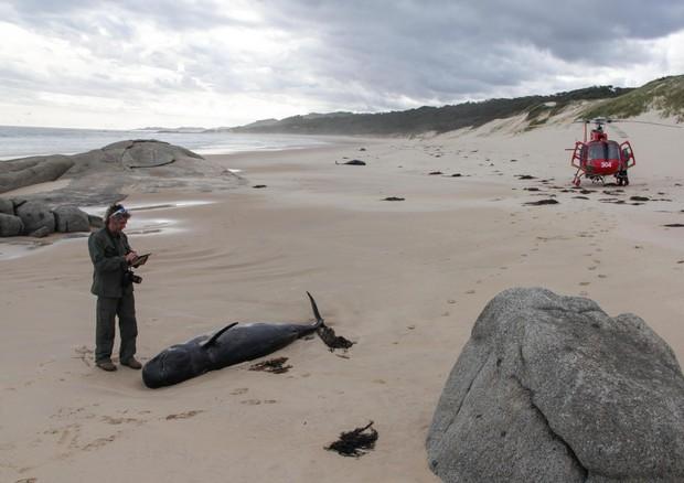 Nuova Zelanda, 51 delfini arenati e morti
