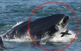 Inghiottito e risputato da una balena: sopravvissuto