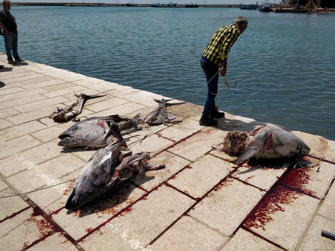 Mazara. Rinvenute carcasse di tonno nel porto canale e nella zona Quarara