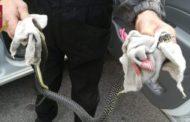 Donna alla guida dell'auto scopre serpente di oltre un metro, soccorsa