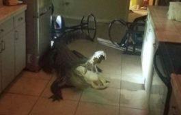 Signora si sveglia e trova un alligatore di oltre tre metri in cucina