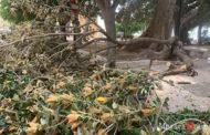 Mazara: grosso ramo si stacca da uno dei tanti alberi centenari a Villa Jolanda, sfiorata tragedia