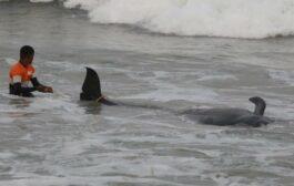 Sri Lanka, salvate oltre 100 balene arenate in spiaggia